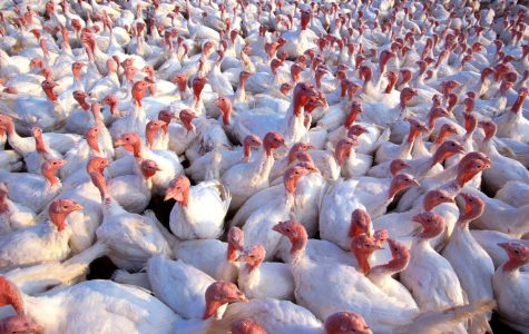 Turkey Farming: A Tragedy