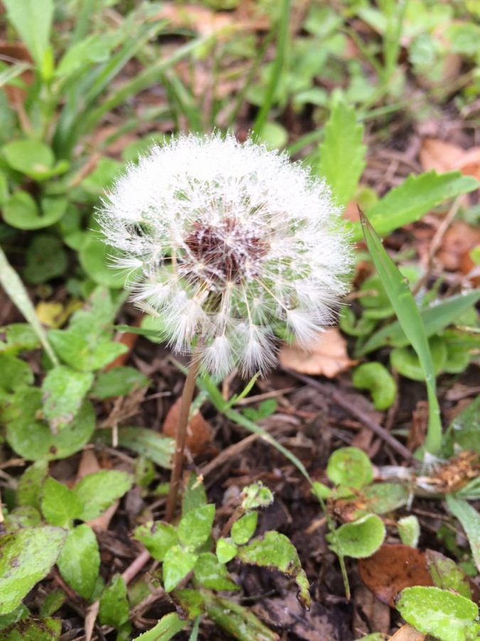 Dandelions+are+one+of+the+first+flowers+in+the+spring+to+bloom.