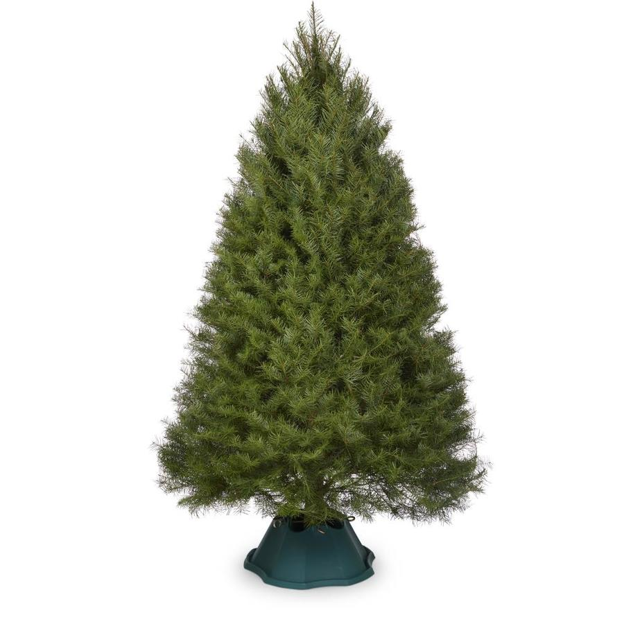 This+Christmas+tree+is+real.++Real+trees+are+usually+%28not+always%29+a+bit+darker+in+color.++Also%2C+the+branches+are+natural+and+not+trimmed+perfectly.+These+trees+also+have+a+water+stand+that+you+put+water+in+to+keep+it+alive.+
