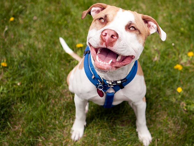 The Confusion Around Pit Bulls